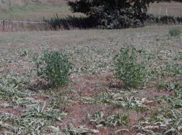 Vertrocknete Grasbestände mit welkendem Löwenzahn. Nur Luzernestöcke ertragen diese lang andauernde Dürre noch einigermaßen gut.