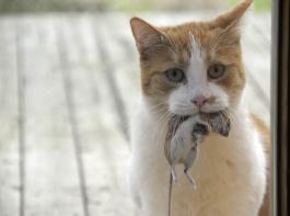 Als Mäusefänger sind Katzen auf den Bauernhöfen unersetzlich. Dabei können sie sich jedoch mit Darmparasiten wie Bandwürmern anstecken.