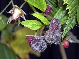 Gegen Botrytis an Himbeeren wirken wichtige Fungizide schon nicht mehr.