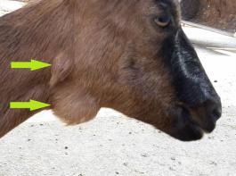 Dieses Tier hat zwei Lymphknotenabszesse (siehe Pfeile) am Kopf.