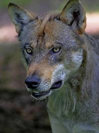 """BLHV-Position zum Wolf  wissenschaftlich untermauert: """"Es droht eine partielle Aufgabe der Weidewirtschaft gerade auf naturschutzfachlich essenziellen Standorten"""", erklärt  Nicolas Schoof,  Universität Freiburg."""