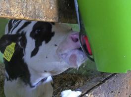 Damit die Milch in den Labmagen gelangt, muss das Kalb intensiv am Nippel saugen.