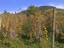 Jahrelang nicht gepflegte Weinberge schaden auch dem Landschaftsbild und damit dem Tourismus.