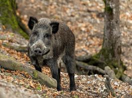 Die Zahl der ASP-Fälle bei Wildschweinen hat 2018 in der EU im Vergleich zum Vorjahr um rund 50 Prozent zugenommen