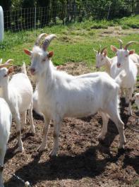 Milchziegenhalter können nun dank der neuen Zuchtwertdaten ihre  Zuchttiere noch gezielter auswählen und so einen rascheren   Zuchtfortschritt erreichen.