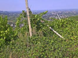 Dieser verwildete Weinberg wurde ein Jahr lang nicht bewirtschaftet.