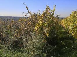 Aufgelassene Weinberge stellen ein erhebliches Problem für Ertragsrebflächen dar (rechts im Bild): Durch das Ausbleiben phytosanitärer Maßnahmen erhöht sich rasch der Infektionsdruck durch pilzliche und tierische Schadorganismen auf benachbarten Parzellen.