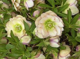 Lenzrosen warten mit  vielfältigen Farbenspielen auf. Einige Blüten haben gefüllte Blüten. Durch Aussaaten entstehen immer wieder Hybriden wie die Blütenbilder zeigen.