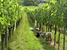 Die Schafe weiden im Rahmen des Versuchs über vier Jahre auf mehreren Parzellen in verschiedenen Reberziehungsformen.