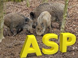 Seit fünf Jahren gibt es ein ASP-Seuchengeschehen im Osten  Polens, das ungefähr 250km vom jetzigen Fall entfernt ist.