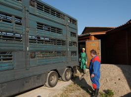 Die Talfahrt der Schlachtschweinepreise hält auch in dieser Woche an.