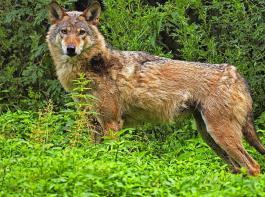 Die Vereinigung Deutscher Landesschafzuchtverbände fordert, dass Deutschland den Antrag der Schweiz unterstützt, den Wolf in der Berner Konvention herabzustufen.