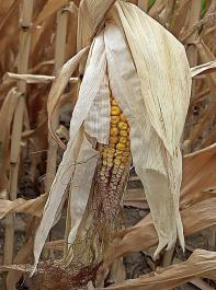 Zahlreiche Körnermaispflanzen haben wegen der Trockenheit eine ungefüllte Kolbenspitze. Über die Nutzung als Körner- oder Silomais muss schnell entschieden werden.