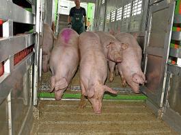 Ein ganzes Paket von Maßnahmen soll den Tierschutz in der Nutztierhaltung und in Schlachthöfen verbessern.