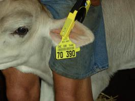 Seit 2011 wurden mehr als 1,5 Millionen Ohrstanzen  untersucht  und dabei  über 4850 PI-Tiere entdeckt.
