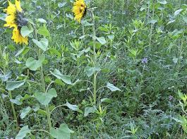 Möglichst vielfältige Mischungen von  Zwischenfrüchten unterstützen den Bodenaufbau.