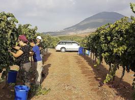 Lese von Syrah-Klonen in der Tabor Winery am Fuß des gleichnamigen Berges. Die Versuche mit den Klonen werden von der Universität von Ariel durchgeführt.