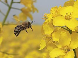 Viele Landwirte sehen sich durch das Volksbegehren in ihrer Existenz bedroht, obwohl sie selbst Lebensgrundlagen für Bienen bieten.