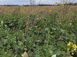 Viele Zwischenfrüchte sind im Winter nicht abgefroren. Wenn in einem Bestand blühende Pflanzen stehen, wird er von Bienen und Wildinsekten beflogen. Beim Herbizideinsatz ist deshalb Vorsicht geboten.