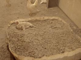 Hilfreich bei der Bekämpfung  der   Vogelmilbe: Staubbäder auf der Basis von  Gesteinsmehlen.