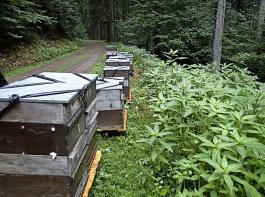 Schwarzwaldstandorte können sich für die Überwinterung von Bienenvölkern heutzutage besser eignen als Standorte in wärmeren Regionen.