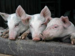 Öko-Schweine bringen mehr Geld als konventionelle Tiere, doch  ihre Erzeugung kostet auch mehr. Ob sich die notwendigen Umbaumaßnahmen rechnen, klärt man am besten mit einem Ökoberater.