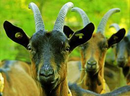 Ziel der Managementhilfe  GMON Ziege ist es,  Kosten und Tierverluste zu reduzieren und das Tierwohl zu steigern.