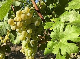 Cabernet Blanc ist eine der robusten PIWI-Rebsorten.