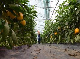 Gemüse wie Paprika wird oft im Gewächshaus angebaut, wo die Pflanzen optimal versorgt werden können.