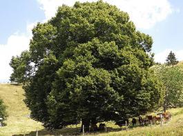 Diese Linden spenden den Tieren optimal Schatten.