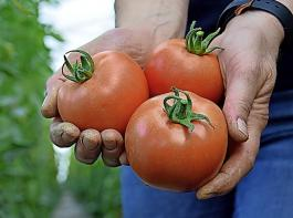 Gemüse-, Energie- und Zierpflanzen werden technologisch  entwickelt und vermehrt.