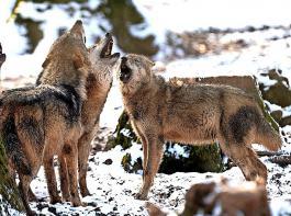 Wölfe vermehren sich in Deutschland schnell, wie jüngste Erhebungen belegen.