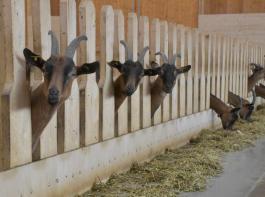 Ziegen- und Schafhalter  wollen sich künftig weltweit stärker vernetzen.