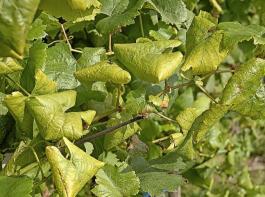 Abb.1: Typisch für die Schwarzholzkrankheit ist bei weißen Rebsorten ein Vergilben der Blätter. Auch ein Blattrollen ist häufig zu beobachten.