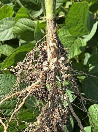 Wurzel einer Sojapflanze mit Bakterienknöllchen.