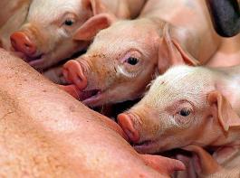 Die Anzahl der geborenen Ferkel ist in den Betrieben der Erzeugerringe in Baden-Württemberg um durchschnittlich 1,73Ferkel pro Wurf gestiegen. Im Durchschnitt wurden 26,4 Ferkel pro Sau und Jahr abgesetzt.