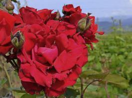 Blühende Rosen sorgen in den Weinbergen – wie hier am Tuniberg – während der Sommermonate für hübsche Farbtupfer.