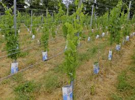 Bereits im Sommer konnte man bei zweijährigen Anlagen die Auswirkungen der Stammschäden anhand der gelben Blätter sehen.
