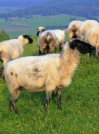 Gegen den Bundestrend wuchs die Zahl der Schafe in Baden-Württemberg.