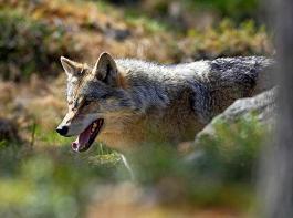 Klargestellt wird im Entwurf, dass zur Abwendung drohender ernster landwirtschaftlicher Schäden durch Nutztierrisse gegebenenfalls auch mehrere Tiere eines Rudels oder gar ein ganzes Wolfsrudel entnommen werden können.