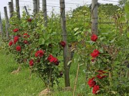 Rosenstöcke, am Ende der Rebzeile gepflanzt, sind im Weinberg stets ein Hingucker.