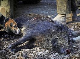 Neben der Meldung von Fallwild unter Angabe des genauen Fundortes soll auch die Blutprobenahme mit 50Euro pro Tier vergütet werden.