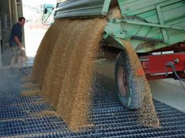 Hohe bis sehr hohe Erträge, aber nicht selten Abstriche bei der Qualität - auf diesen Nenner lässt sich bisher die Weizenernte im Badischen bringen.