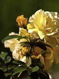 Blüten der Strauchrose 'Lichtkönigin Lucia'
