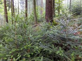 Trotz geringer Tannenanteile im Altbestand kommt die Baumart in der Naturverjüngung zurück, unterstützt durch eine Jungbestandspflege unter Schirm.