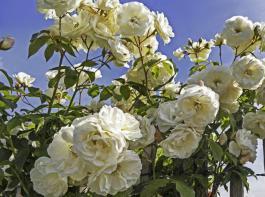 Die cremeweißen Blüten der Sorte 'Schneewittchen'