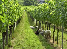 Die Schafe weiden im Rahmen des Versuchs  über vier Jahre auf mehreren Parzellen in verschiedenen Reb- erziehungsformen.