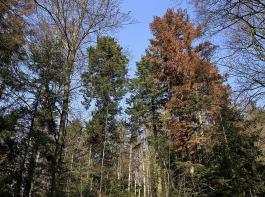 Infolge der Trockenheit 2018 sind auch viele Weißtannen teils erheblich von Borkenkäfern befallen.