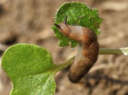 Ackerschnecken haben eine Vorliebe für sehr junge Rapspflanzen.