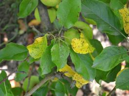 Apfelblätter bekommen braune Flecken und werden gelb, wenn sie Marssonina ab Juni befällt.